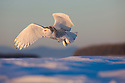 Snowy owl flying above snow field holding mouse in claws, Canada