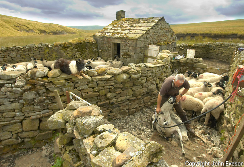 Shearing Swaledale ewes at Becks Meetings sheepfold, Cumbria.
