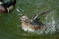 Wood Duck (Aix sponsa) hen bathing.  Pacific Northwest.