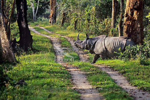 Greater Indian Rhinoceros or Asian One-horned Rhinoceros (Rhinoceros unicornis), Kaziranga National Park, India.  Crossing primitive road in Park.