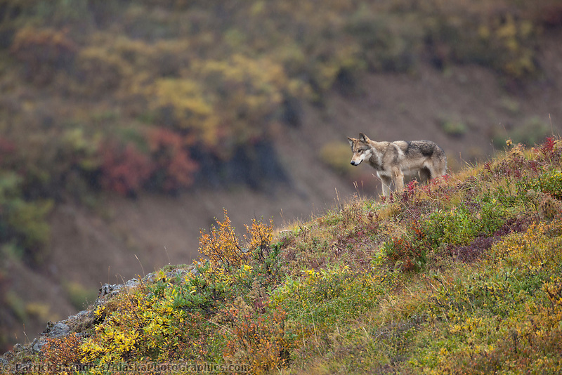 Gray wolf surveys a mountain ridge after a failed attempt to get two dall sheep rams, Polychrome pass, Denali National Park, Interior, Alaska.