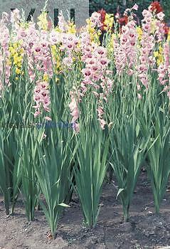Gladiolus garden flowers.