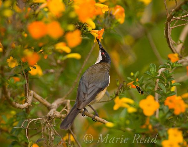 Eastern Spinebill (Acanthorhynchus tenuirostris), sipping nectar from orange flowers, Atherton Tableland, Queensland, Australia.