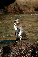 Galápagos penguins are the smallest and most northerly of the warm weather penguins. They followed the cool waters of the Humboldt Current. As recently as the El Niño event of 1997-98, which brought high ocean temperatures to the Galápagos, the Galápagos penguin saw a decline of more than 60 percent. .