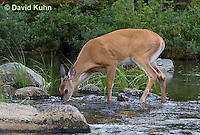 0623-1020  Northern (Woodland) White-tailed Deer Drinking Water, Odocoileus virginianus borealis  © David Kuhn/Dwight Kuhn Photography
