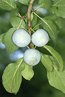 The cultivated Greengage is now regarded as a distinct subspecies Prunus domestica ssp. italica; the fruits are yellowish green.