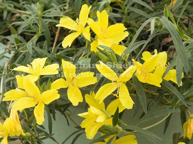 Evening Primrose, Oenothera Lemon Drop