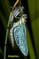 1O11-009z   Black-tipped Mosaic Darner Dragonfly adult emerging from nymph skin - inflating wings - Aeshna tuberculifera - series