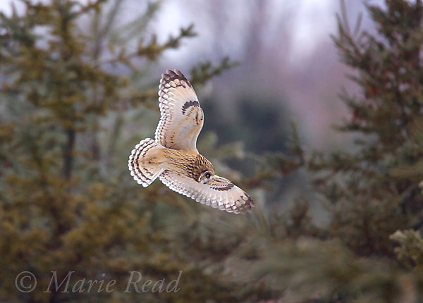 Short-eared Owl (Asio flammeus), in flight among conifers in winter, Ithaca, New York, USA<br /> Cropped from original capture.