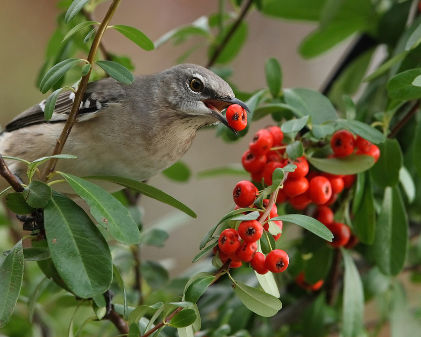 Young Northern Mockingbird with red berries.