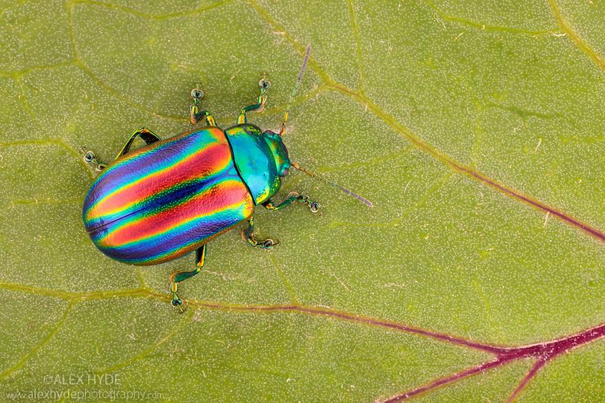 Leaf Beetle (Oreina speciosa) showing iridescence. Austrian Alps, Nord Tirol, June.