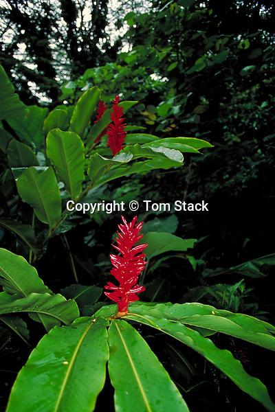 Ginger,Kaui, Hawaii