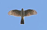Sperber im Flug, Flugbild, Accipiter nisus, Sparrowhawk, Épervier d'Europe