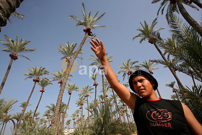 Palestinian farmers harvest dates from palm trees during harvest in Deir al-Balah in the central Gaza Strip Sept. 28, 2010 . Photo by Ashraf Amra