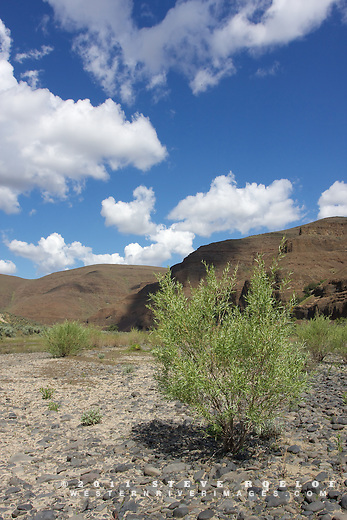 Willow and puffy clouds along the John Day River, Oregon.