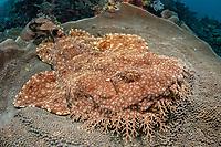 tasselled wobbegong, Eucrossorhinus dasypogon, sitting on a platform coral, Coscinarea macneilli, camouflage, Raja Ampat, West Papua, Indonesia, Indo-Pacific Ocean