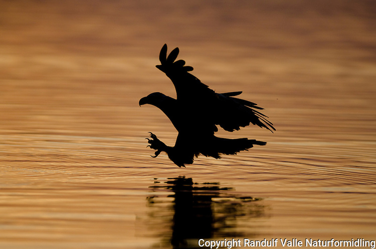 Havørn ---- White tailed sea eagle