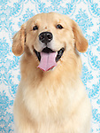 Artistic portrait of a cute young Golden Retriever on blue white background