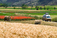 Abruzzo, Italy, June 2008. Fields full of colourful poppies and golden wheat are interspersed with old Fruit trees. Photo by Frits Meyst/Adventure4ever.com