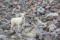 Dall sheep spring lambs in the Brooks Range mountains, Alaska.