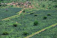 TANZANIA Tanga, Usambara Mountains, Sisal farming and industry, D.D. Ruhinda & Company Ltd., Mkumbara Sisal estate, new planted Agave Sisalana / TANSANIA Tanga, Usambara Berge, Sisal Anbau und Industrie, D.D. Ruhinda & Company Ltd., Mkumbara Sisal Estate, Neupflanzung Sisalpflanze Agave Sisalana