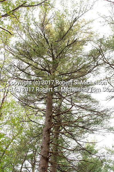 Eastern white pine, Randolph, Massachusetts