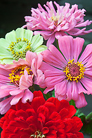 Zinnias variety of summer blooming annual flowers in mixture of colors from red, pink and green (Envy zinnia), Scarlet Flame, Benary's Giant Bright Pink, Cut and Come Again