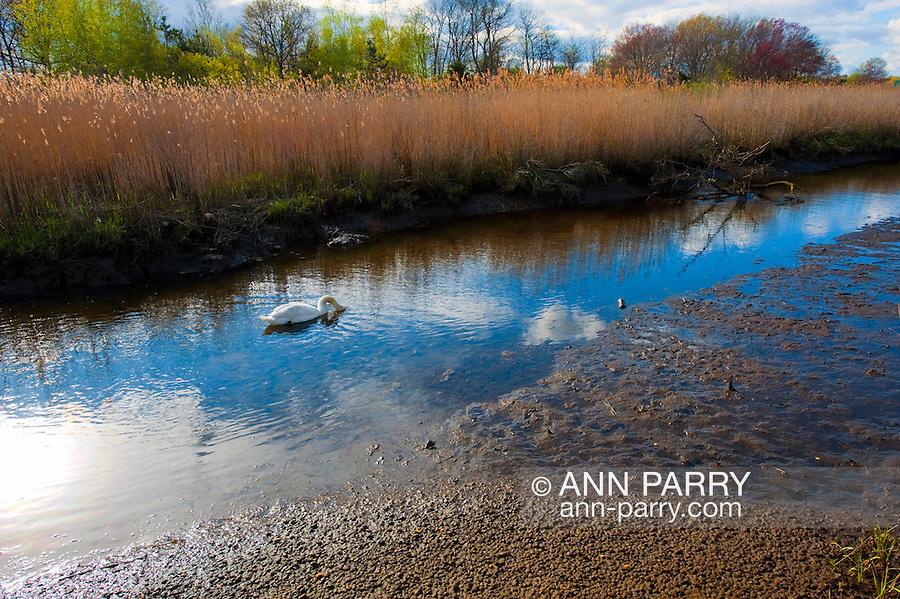 Goose in Marsh Stream