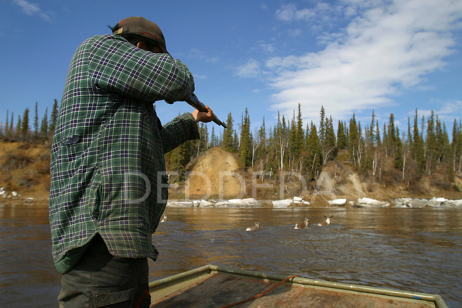 The Vuntut Gwitchin First Nation men hunt Porcupine caribou twice a year, every spring and autumn, on the Porcupine River near Old Crow, Yukon Territory, Canada.