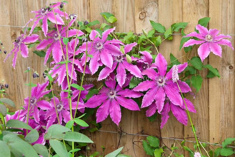 clematis barbara dibley climbing vine with purple flowers against wooden fence tied up on wire trellis - Vining Flowers