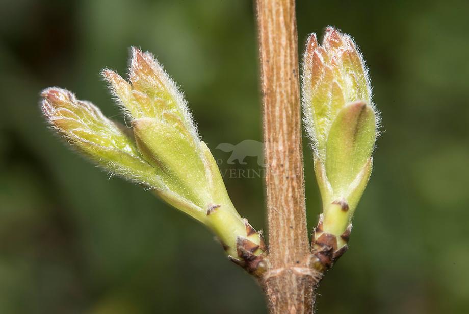 Spaanse aak (Acer campestre), bottende knop