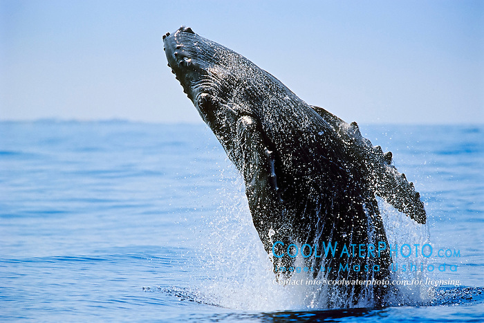 humpback whale, Megaptera novaeangliae, newborn calf breaching, Hawaii, USA, Pacific Ocean
