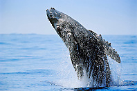 humpback whale, Megaptera novaeangliae, newborn calf breaching, Hawaii, USA, Pacific Ocean