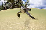 Split view of a newly hatched Green Sea Turtle (Chelonia mydas) just entered the ocean, Yap, Micronesia.