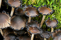 Coprinoid mushrooms, commonly referred to as Inky Caps, digest their own gills in a process known as autolysis. Upon maturation, the gills are liquified into  a black, ink-like goo, starting from the margins and slowly progressing upwards. This process allows for the efficient wind dispersal of newly matured spores. Pictured here is Coprinus micaceus (aka Coprinellus micaceus). Common names include Mica Cap and Glistening Coprinus. These mushrooms are usually found in clusters near tree stumps.