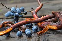 Schlehenwurzeln, Wurzelernte, Ernte von Schlehenwurzeln, Rinde von Schlehenwurzeln, Schlehenwurzel, Schlehen-Wurzeln, Schlehen-Wurzel, Wurzeln, Wurzel, Rinde und Wurzeln von Schlehe, Wurzelrinde, Wurzel-Rinde, Gewöhnliche Schlehe, Schwarzdorn, Prunus spinosa, Blackthorn, Sloe, root, roots, Epine noire, Prunellier
