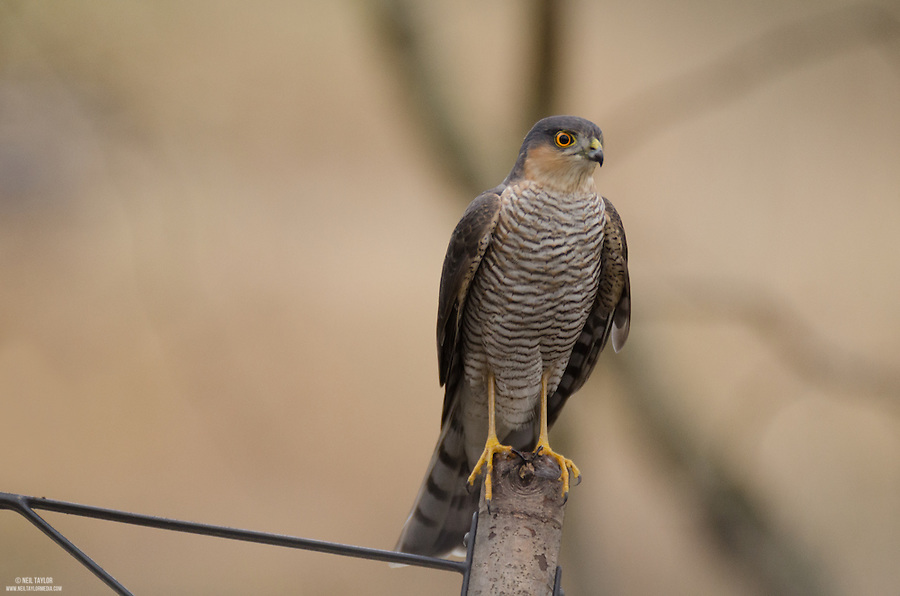 Sparrowhawk {Accipiter nisus} Perched on a Bird Feeder at RSPB Dearne Valley Old Moor