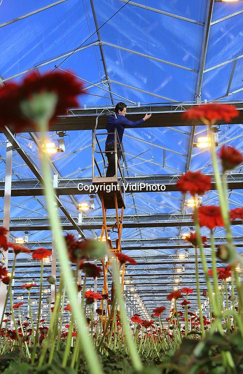 Foto: VidiPhoto<br /> <br /> BRAKEL - Gerberakweker Marius Mans uit Brakel in de Bommelerwaard controleert zijn dubbele verduisteringsschermen. De schermen reguleren de hoeveelheid licht, maar houden ook de lichtuitstoot naar buiten tegen en de warmte binnen vast. Met dit Nieuwe Telen wordt een energiebesparing van 47 procent gehaald. Mans heeft een van de meest moderne en energiezuinige kassen van Nederland en ontvangt voor zijn initiatief subsidie van het ministerie van Economische Zaken. Per jaar oogst hij ruim 19 miljoen semi-biologische gerberastelen in 3,2 ha. kassen. Gerbera's behoren bij de top-5 van meest populaire bloemen.