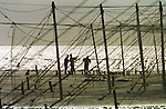Fishermen at St. Cyrus in Aberdeenshire setting up stake nets at the beginning of the season on the beach to catch wild Atlantic salmon and sea trout between April and August. In 1998 the fishery discontinued the use of labour-intensive stake nets when the company which owned the fishery sold the fishing rights. The once-thriving Scottish salmon netting industry fell into decline in the 1970s and 1980s when the numbers of fish caught reduced due to environmental and economic reasons. By 2007, only a handful of men still caught wild salmon and sea trout using traditional methods, mainly for export to the Continent.