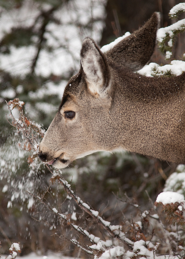 A deer knocks the snow off of a branch that it is eating in the wintertime in Banff National Park, Alberta, Canada.