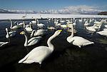 Whooper swan, Cygnus cygnus, group in water, lake Kussharo-ko, Hokkaido Island, Japan, japanese, Asian, wilderness, wild, untamed, ornithology, snow, graceful, majestic, aquatic. .Japan....