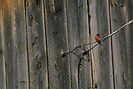 A barn swallow perches on a wire on the side of a weathered building.