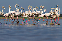 Greater flamingos at Kudiakam Pan