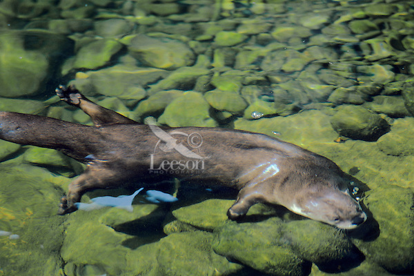 River Otter searching for food--small fish, crayfish, etc.) among rocks on river bottom.  Pacific Northwest.