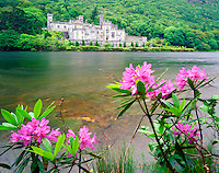Rhododendron on the banks of Kylemore Lake at Kylemore Abbey, 19th Century Gothic Castle, Connemara, County Galway, Republic of Ireland