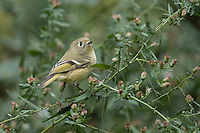 Ruby-crowned Kinglet (Regulus calendula calendula), a fall migrant to New York City's Central Park foraging.