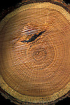 Red oak log  Quercus rubra showing growth rings, absorption of smaller tree
