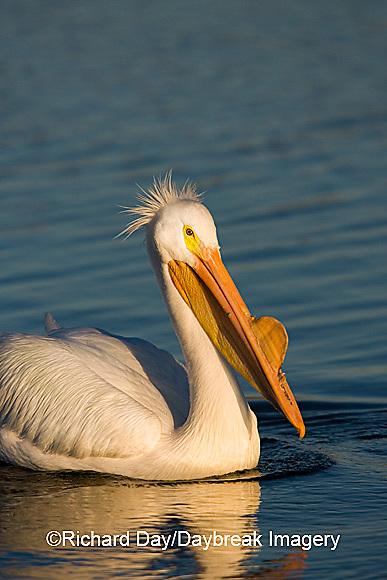 00671-008.08 American White Pelican (Pelecanus erythrorhynchos)  Riverlands Environmental Demonstration Area,  MO