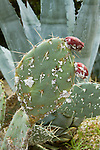 COCHINEAL INSECT, DACTYLOPIUS COCCUS ON OPUNTIA CACTUS
