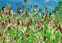 Red sorghum cultivation